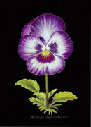 Pansy Face - for sale $75.00